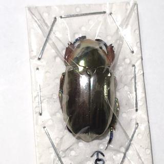 クルサルギレアプラチナコガネ!標本!その4(虫類)