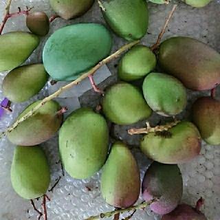 5.  マンゴー グリーン マンゴー 3kg 摘果 mango(フルーツ)