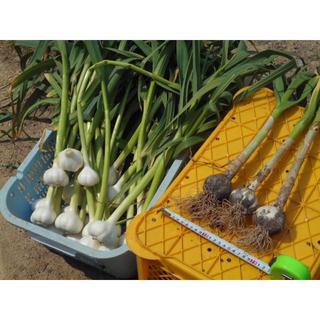 収穫仕立て!超新鮮な山口県産ニンニクのバラ売り100片(100粒)生の大蒜です。(野菜)