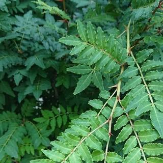 アゲハ蝶幼虫用 山椒の葉 100㌘(虫類)