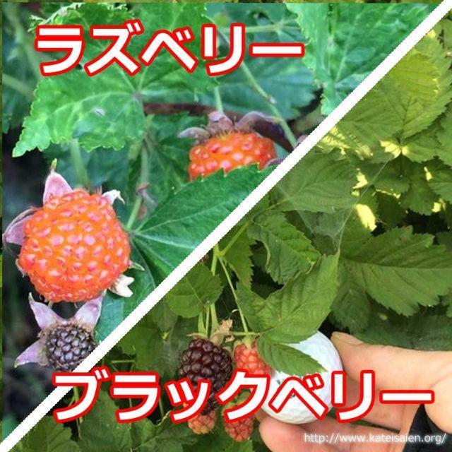 ■ラズベリー苗ブラックベリー苗セット☆無農薬栽培♪ 食品/飲料/酒の食品(フルーツ)の商品写真