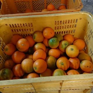 和歌山 有田産 バレンシアオレンジ(フルーツ)