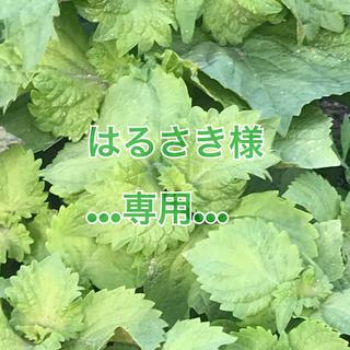 無農薬  青しそ苗5本(野菜)