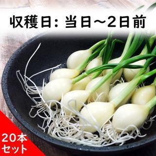 青森県産スプラウトにんにく20本(野菜)