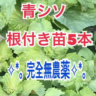 ✧︎*。完全無農薬 ✧︎*。青シソ(大葉)根付き苗5本❣️常時オマケ付き💖(野菜)
