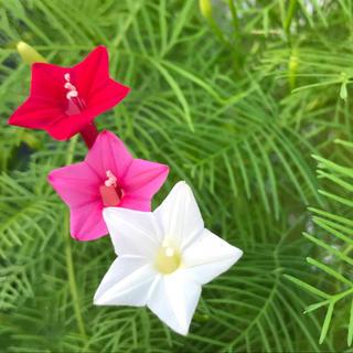 ルコウソウ 3色咲 種*おまけつき(その他)