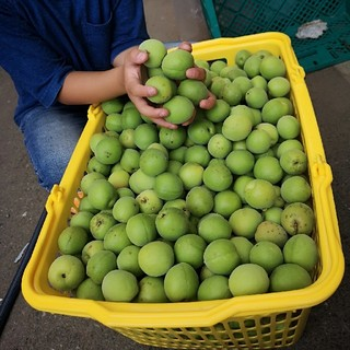☆お買い得☆青梅5kg Lサイズ~2Lサイズ【無農薬 自然栽培】朝摘み当日出荷