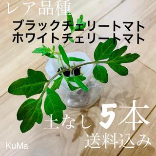 トマト苗・小(ブラックチェリートマトorホワイトチェリートマト)(野菜)