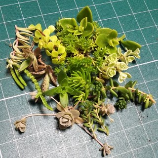 多肉植物 12種 実物 切苗、抜き苗(プランター)