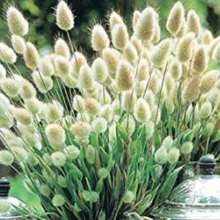 ラグラスバニーテール種子100粒以上春まき種子(プランター)