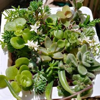 多肉植物 ① カット苗  14種類 (その他)