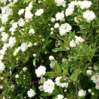 モッコウバラ 白色 八重咲き 挿し穂  カット枝10本(プランター)