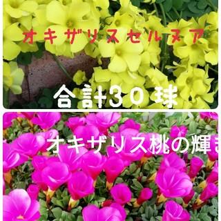 オキザリス セルヌア 桃の輝き各15球づつ(その他)