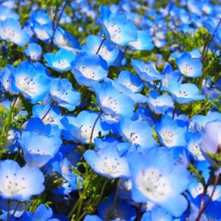 【森の青い妖精☆】ネモフィラ 種 インシグニスブルー☆300粒以上!(プランター)