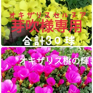 オキザリス セルヌア 桃の輝き  コスモスの種 カサノバミックス(プランター)