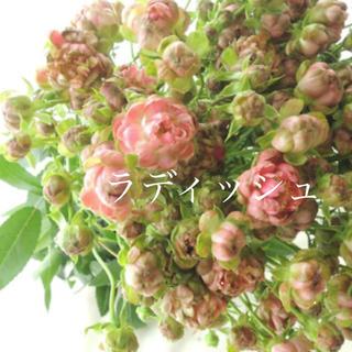 四季咲きスプレーバラの苗♡切り花品種(その他)