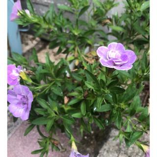 カリブラコア 八重咲き 1ポット(その他)