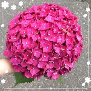 dekopatti様専用♥️ 大きな赤い紫陽花苗(その他)