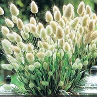 ラグラスバニーテール種子100粒以上 春まき種子(プランター)