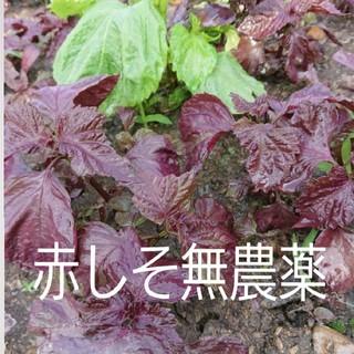 赤しそ【無農薬】10本土を少しつけての発送なくなり次第終了‼️(野菜)