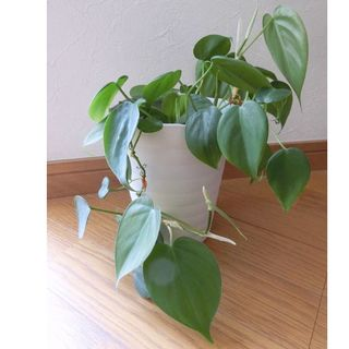 観葉植物 オキシカラジューム(プランター)