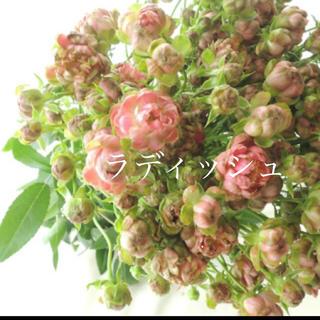 ①四季咲きスプレーバラの苗♡2種セット切り花品種(その他)