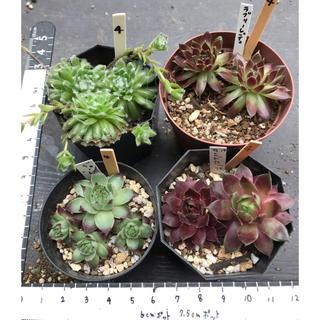 多肉植物 センペル④(その他)