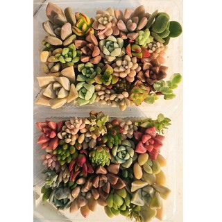 koko様専用 多肉植物 カット苗 小パック 2個 セット(その他)
