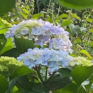 紫陽花 アジサイ 挿木3本 (青〜薄紫〜ピンク〜濃紫になります)(その他)