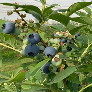 【もぎたて配送】有機栽培ブルーベリー1KG 初回発送分【マグノリアガーデン】(フルーツ)