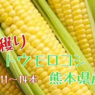 一点限り!とうもろこし(ゴールドラッシュ)サイズL~M熊本県産(野菜)