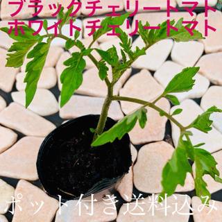 トマト苗・中(ブラックチェリートマトorホワイトチェリートマト)(野菜)