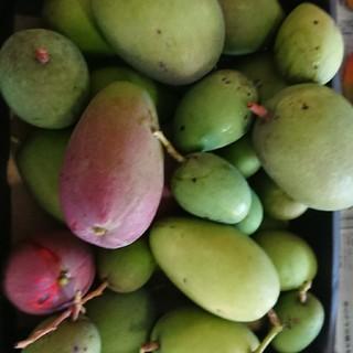 6. グリーン マンゴー 3kg 漬物用(フルーツ)