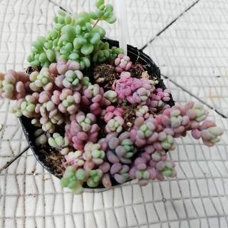 多肉植物1 パープルヘイズ 抜き苗(その他)