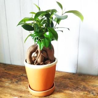 コパ様専用❗️可愛いガジュマル‼️オシャレ陶器鉢オレンジ‼️樹形綺麗❗️(プランター)