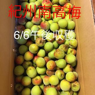 6/6午後収穫 自然栽培 無農薬 紀州南高梅 8キロ(野菜)