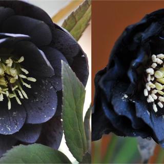 【クリスマスローズ種子】♀:丸弁美花DDブラック × ♂:DD漆黒 5粒(その他)