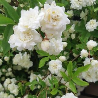 モッコウバラ白の挿し木用の苗(野菜)