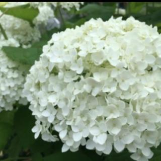 紫陽花アジサイアナベル挿し木 挿し穂(プランター)