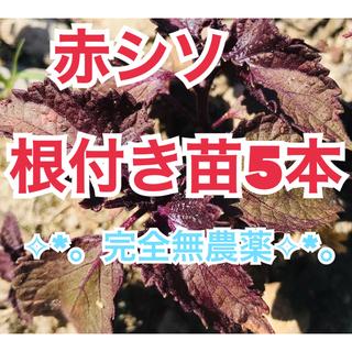 ✩︎⡱完全無農薬✧︎*。赤しそ根付き苗5本❣︎常時オマケ付き♥︎︎∗︎*゚(野菜)