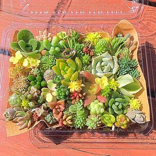 多肉植物 セダム⭐︎その他カット苗パック 15種類以上 ④(その他)