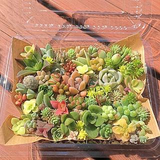 多肉植物 セダム⭐︎その他カット苗パック 15種類以上 ⑤(その他)