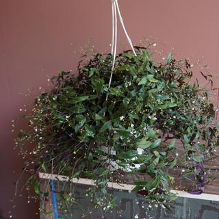 観葉植物 ブライダルベール7号鉢(その他)