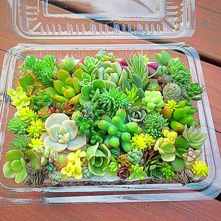 多肉植物 セダム⭐︎その他カット苗パック 15種類以上 ⑦(その他)
