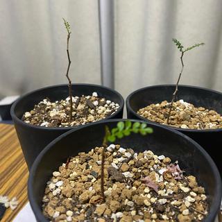 アクタス(ACTUS)のオペルクリカリア パキプス 実生 塊根植物 コーデックス ネイバー インビジ(その他)