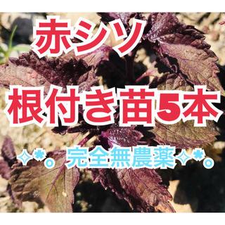 ✩︎⡱完全無農薬✧︎*。赤しそ根付き苗5本❣︎常時オマケ付き❣️(野菜)