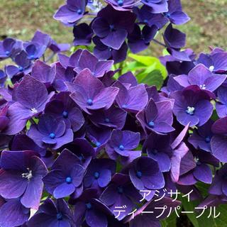 紫陽花 ディープパープル  挿し穂1本(その他)