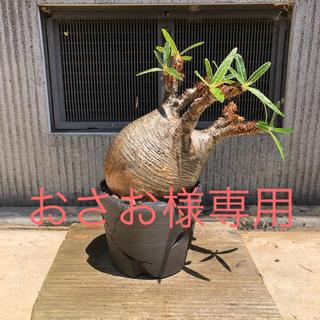 パキポディウム・グラキリス(その他)