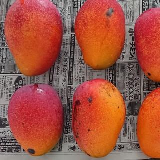11. マンゴー 3kg 家庭用 傷黒点あり 農家直送おまかせプラン(フルーツ)