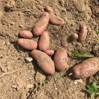 山梨県産無農薬野菜 カラフルポテト ノーザンルビー約1.2キロ 送料込(野菜)